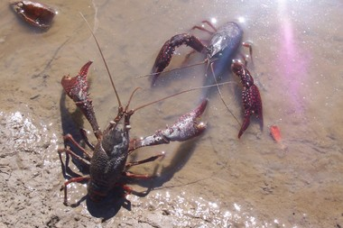 Crawfish_field_trip_038